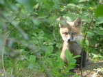 Red Fox, Gordon Natural Area (3)