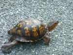 Eastern Box Turtle, Gordon Natural Area (1)