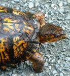 Eastern Box Turtle, Gordon Natural Area (2)