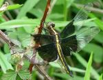 Widow Skimmer Dragonfly, Gordon Natural Area