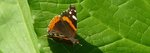 Red Admiral Butterfly, Gordon Natural Area