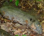 African Lungfish, discovered July 2012 in Plum Run, Gordon Natural Area by Gerard Hertel