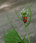 Coccinellid Beetles on Garlic Mustard, Gordon Natural Area