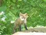 Red Fox Kits, Gordon Natural Area (4)