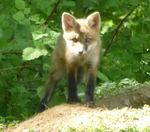 Red Fox Kits, Gordon Natural Area (5)