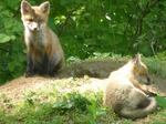 Red Fox Kits, Gordon Natural Area (6)