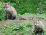 Red Fox Kits, Gordon Natural Area (7)
