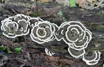 Turkey-tail (Trametes versicolor) in the Gordon Natural Area (1)