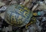 Eastern Box Turtle, Gordon Natural Area (4)