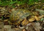 Eastern Box Turtle, Gordon Natural Area (7)