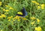 Red-Spotted Purple, Gordon Natural Area