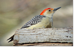 Red-Bellied Woodpecker by Harry Tiebout