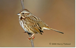 Song Sparrow by Harry Tiebout