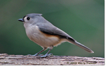 Tufted Titmouse by Harry Tiebout