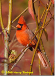 Northern Cardinal, Gordon Natural Area by Harry Tiebout