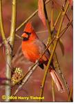 Northern Cardinal, Gordon Natural Area