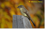 Eastern Phoebe, Gordon Natural Area by Harry Tiebout