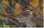 White-Throated Sparrow, Gordon Natural Area by Harry Tiebout