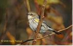 Yellow-Rumped Warbler, Gordon Natural Area