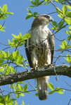 Red-Tailed Hawk, Gordon Natural Area by Gerard Hertel