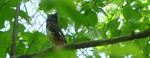 Rufous-sided Towhee, Gordon Natural Area