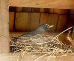 Robin Nest on Information Kiosk, Gordon Natural Area by Gerard Hertel
