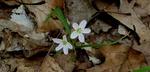 Spring Beauty, Gordon Natural Area