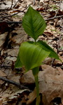 Jack-in-the-Pulpit (1), Gordon Natural Area