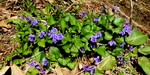 Violets, Gordon Natural Area