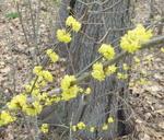 Spicebush flowers, Gordon Natural Area