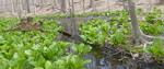 Skunk Cabbage (1), Gordon Natural Area