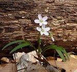 Spring Beauty (2), Gordon Natural Area