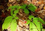 American Ginseng, Gordon Natural Area