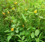 Jewelweed (1), Gordon Natural Area