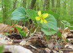 Downy Yellow Violet, Gordon Natural Area