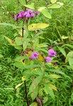 Ironweed, Gordon Natural Area