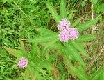 Swamp Milkweed, Gordon Natural Area
