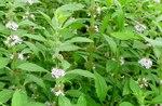Wild Mint (Mentha arvensis), Gordon Natural Area