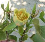 Tulip Poplar flower, Gordon Natural Area