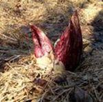 Skunk Cabbage (2), Gordon Natural Area