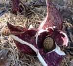 Skunk Cabbage (3), Gordon Natural Area