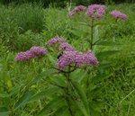 Giant Ironweed, Gordon Natural Area
