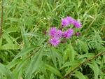 New York Ironweed (1), Gordon Natural Area