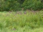 New York Ironweed (2), Gordon Natural Area