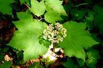 Mapleleaf Viburnum, Gordon Natural Area