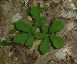 Panax quinquefolius L.,  American ginseng, Gordon Natural Area