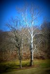 American Sycamore, Gordon Natural Area by Gerard Hertel