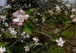 Apple Blossoms, Gordon Natural Area