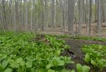 Skunk Cabbage (18), Gordon Natural Area