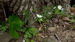 Wood Anemone (2), Gordon Natural Area